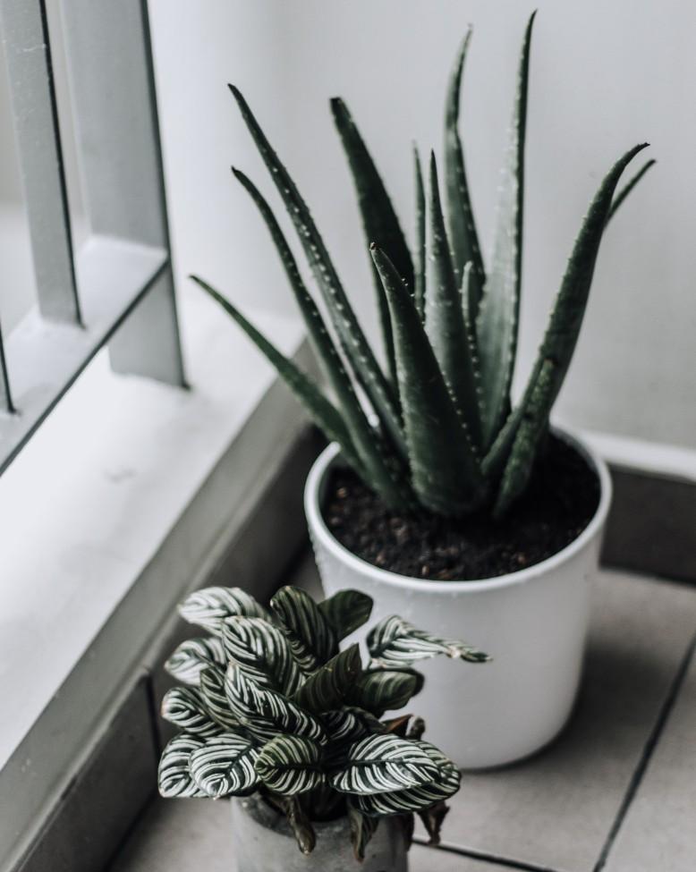 aloe plant interieur